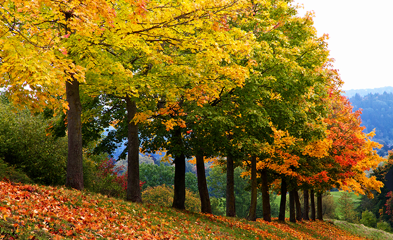 A row of trees changing colors to bright yellow and orange